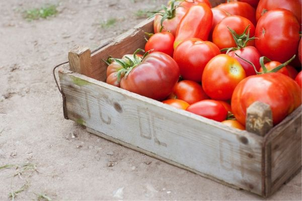 tomatoes use for oily skin